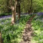 Bluebells at Arger Fen, Suffolk